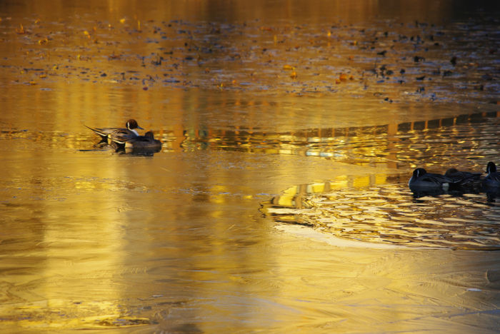朝の池のカモ