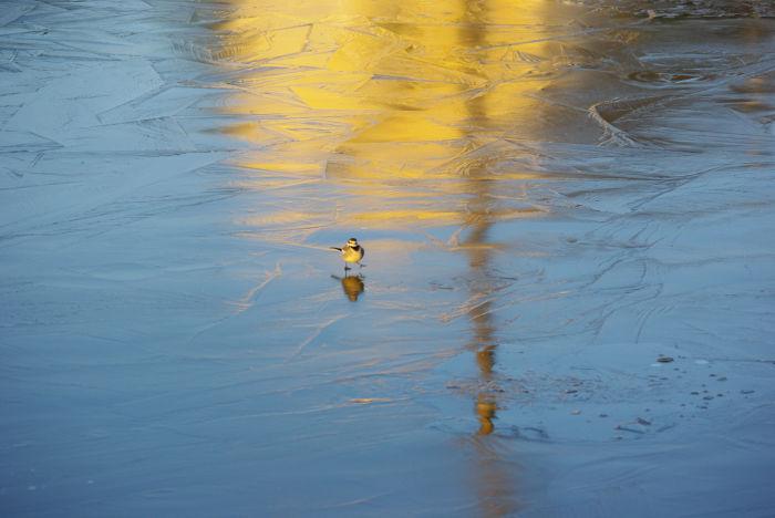 氷の上の小鳥