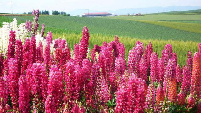 北海道の花 16