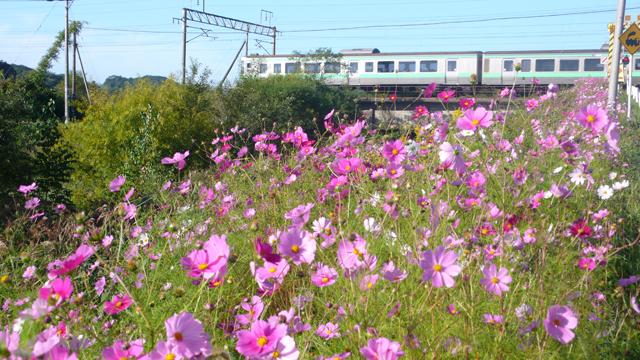 コスモスと列車