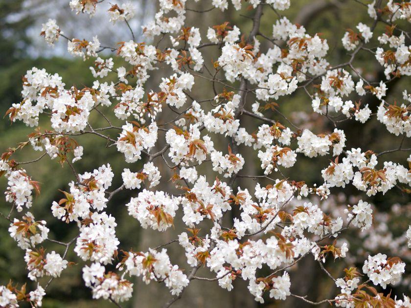 明治神宮 山桜