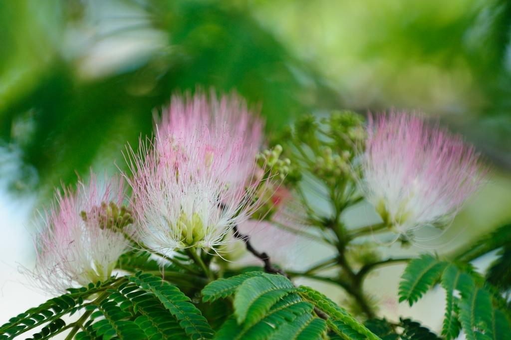 合歓の木(ネムノキ)