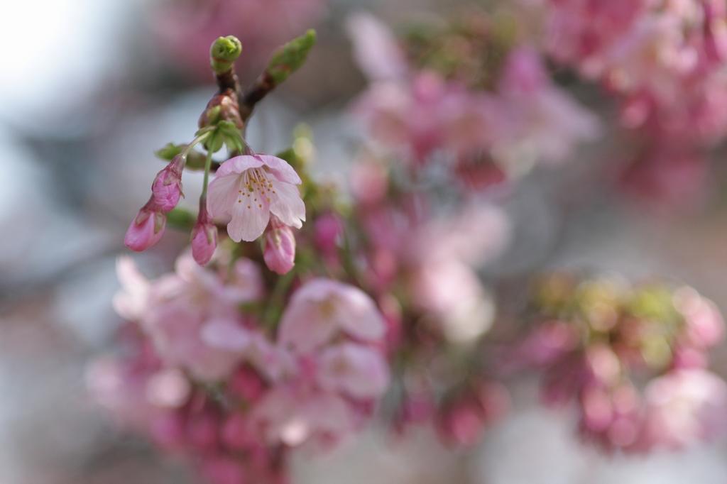 2012年東京の桜開花 1