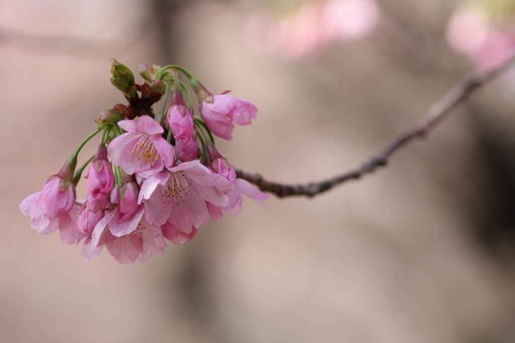 2012年東京の桜開花 2