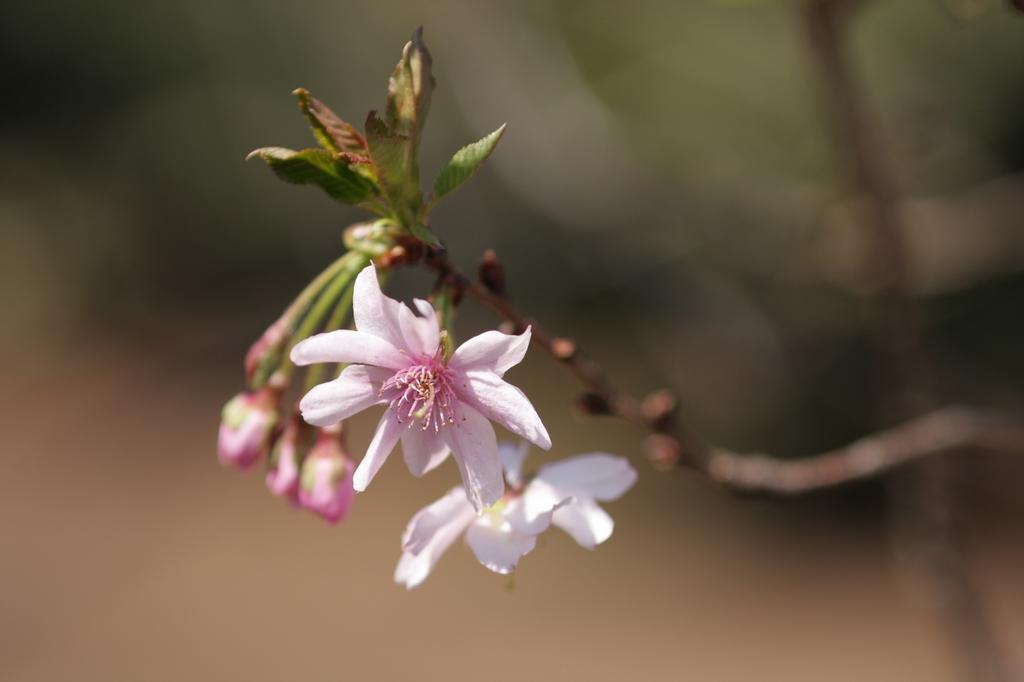 2012年東京の桜開花 5