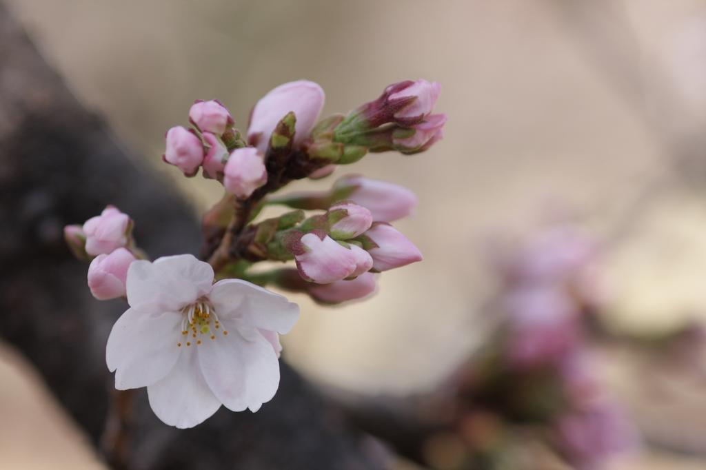2012年東京の桜開花 6