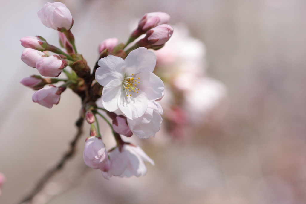 2012年東京の桜開花 9