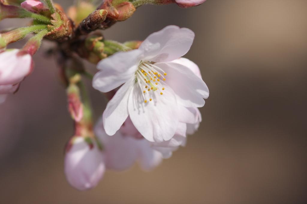 2012年東京の桜開花 11