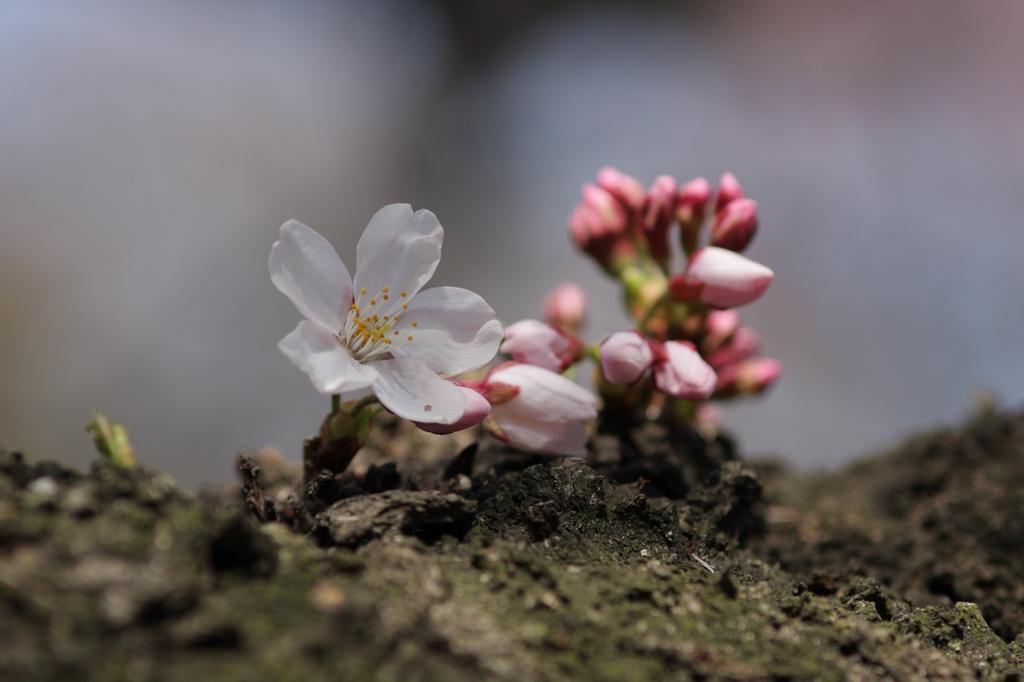 2012年東京の桜開花 12