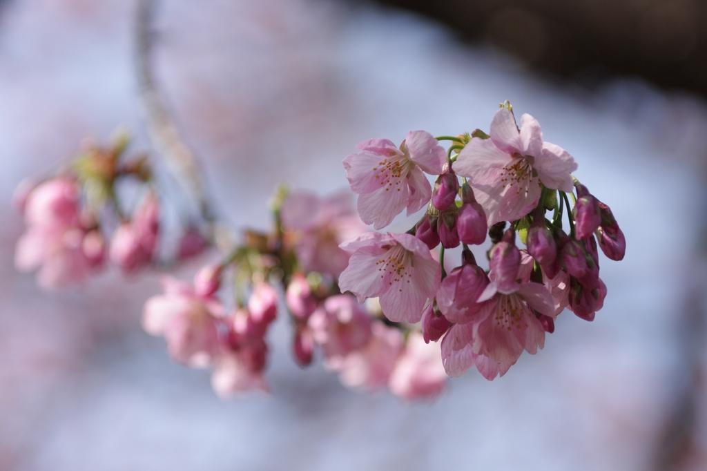 2012年東京の桜開花 14