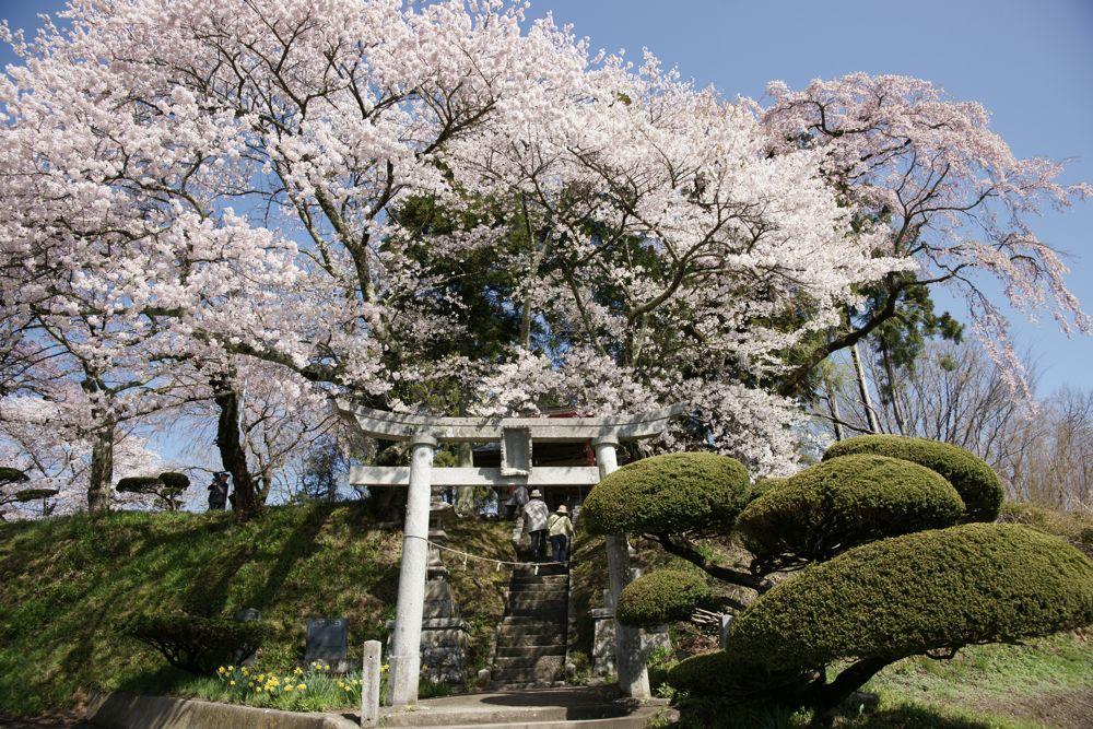 滝桜の周りの桜