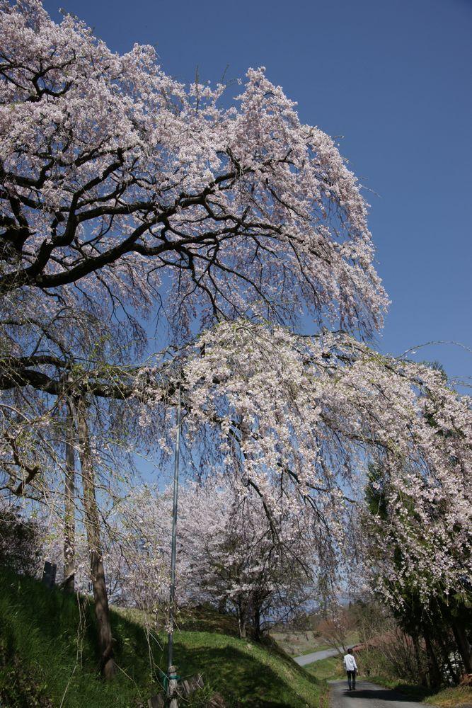 つつみの桜