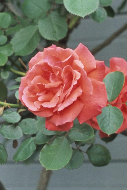 近所のバラ