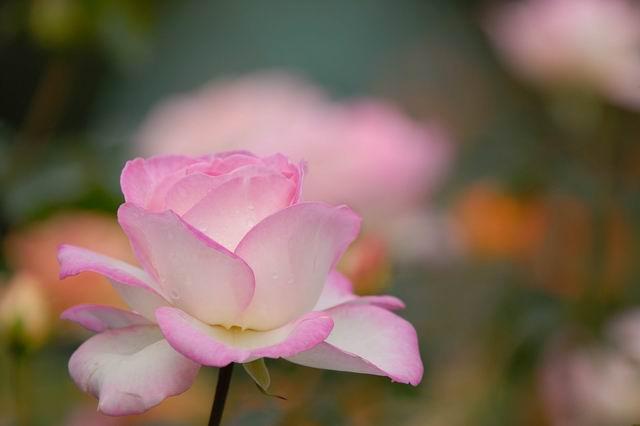 京成バラ園の秋薔薇