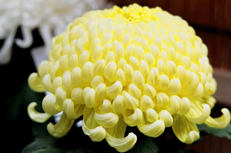 菊のアップ