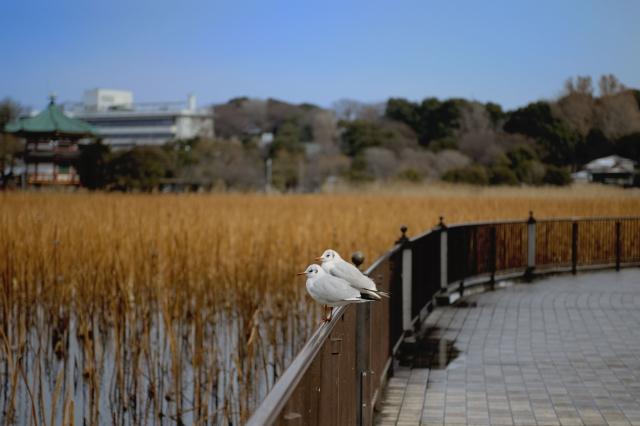 ユリカモメ 2−上野不忍池