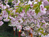 北海道 松前の桜