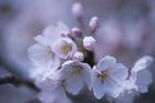 山梨 大法師の桜