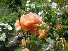 北海道の花 1