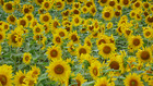 北海道の花 3