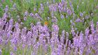 北海道の花 5