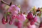 2012年東京の桜開花 3