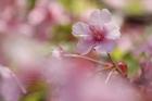 2012年東京の桜開花 4
