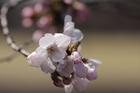 2012年東京の桜開花 7