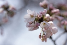 2012年東京の桜開花 8
