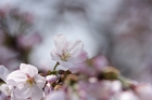 2012年東京の桜開花 10