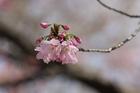 2012年東京の桜開花 13