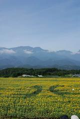 ひまわり畑の全景