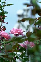 クイーン エリザベス 神代植物公園