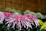 変わった形の菊