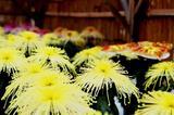 変わった形の菊2
