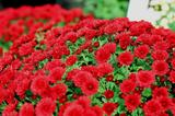 真っ赤な菊