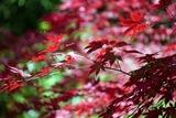 高尾山 薬王院 真っ赤な紅葉