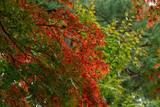 【紅と緑のモミジ】