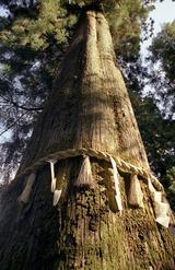 高尾山の御神木