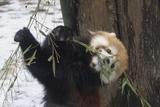 レッサーパンダ − 上野動物園