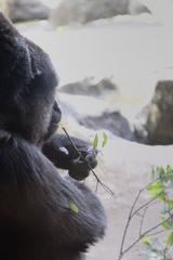 ニシローランドゴリラ − 上野動物園