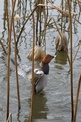 カモ − 上野不忍池