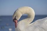 コブハクチョウ Mute Swan