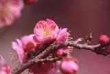 神代植物公園の梅